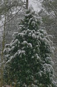 Cedar in Snow 1